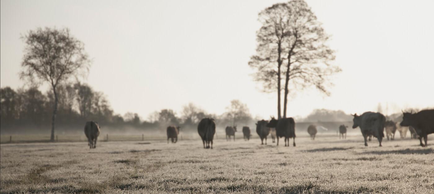 Jerseykoeien op De Groote Voort in Lunteren